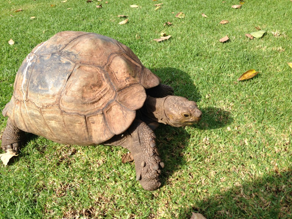 at the Vineyard Hotel in Newlands you will find a few old tortoises living on the grounds. They love the space, fresh grass and natural environment.