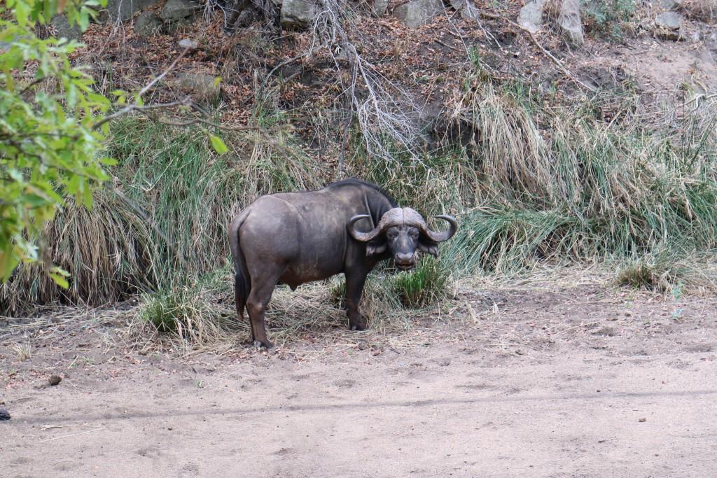 Kruger National Park, Big Five, Sabi Sands, Game Drive, Safari, Africa, Wildlife