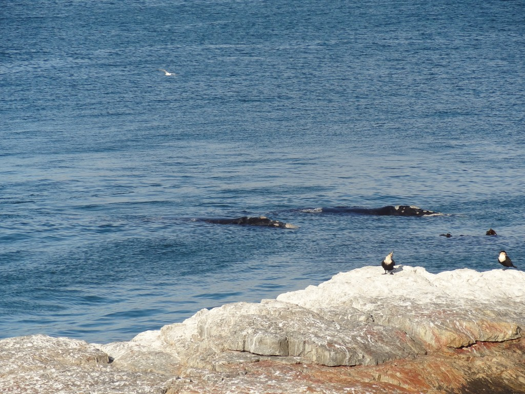 Whales Hermanus South Africa